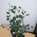ユーカリ ポプルネア ポポラス 大苗 ハート形の葉 5号サイズのPOT苗で高さ60cm センチ