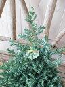 コニファー ブルーバード 4号サイズ 鉢植え シルバーブルーの葉色 高さ30cm センチ 観葉植物 楽天