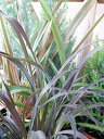 ニューサイラン サンドナー 大苗 ピンク ブロンズ グリーン イエローの交じり合う美しい葉色 楽天 高さ50cmセンチ 観葉植物