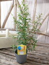 レモンティーツリー 苗 レモンの香り強くハーブティとしても楽しめます 3号サイズ 高さ30cm
