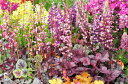 ヒューケラ ドルチェ ツボサンゴ マッチャプディング 大苗 寄せ植えの材料 植物 楽天