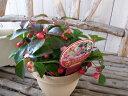 実付 チェッカーベリー 4号鉢 びっしりついた赤い実 高さ 20cm 常緑低木 楽天