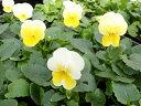 ビオラ ホワイトゴールド 4株 鮮度優先 生産農家 朝取 ホワイトとイエローゴールドのグラデーションが楽しめる花 楽天