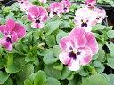 ビオラ ラズベリー 4株 鮮度優先 生産農家 朝取 小輪多花性こんもりあふれんばかりに咲く花 楽天 10P03Dec16