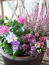 カルーナ ミニバラ パープルカラー寄せ植え カルーナガーデンガールズ ミニバラ エレモフィラニベア よく咲くスミレ スイートアリッサムの5苗セット 送料無料