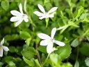 プラティア ホワイト 苗 別名 エクボソウ ムラサキコケモモ 純白の小花が咲く
