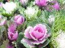 葉牡丹 神戸ジェンヌハボタン ロマンブーケ 3.5号 さまざまな種類植えられた一鉢でも楽しめるようなボリューム