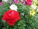 ラナンキュラス 苗 3株セット 春まで長い期間楽しめる花 花芽付ポット