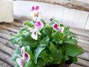 ビオラ ピンクラビット 3.5号 苗 春にはよりたくさんの花を咲かせます 花芽付ポット 10P03Dec16