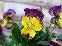 ビオラ ちゅらももか 3.5号 苗 花芽が良く付いた株 花壇 春先まで草姿が乱れにくい人気のビオラ 10P03Dec16