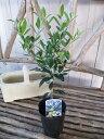 オリーブ エルグレコ 大苗 丈夫で育てやすくシンボルツリー 観葉植物 高さ40cm
