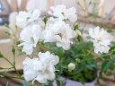 ミニバラ レンゲローズ ホワイト 3.5号 白の花 花芽付 植物