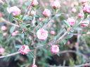 ギョリュウバイ ミニピンク 苗 小輪の桃の花 花芽付 植物