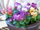 ビオラ アンティーク 4株セット ちょっとシックな花色が魅力 小輪多花性品種で春まで長い期間楽しめる花