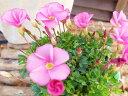 オキザリス ラブハピネス ローズ 苗 桃色の花 植物 花芽付