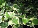 斑入り オカメツタ 観葉植物 グランドカバー等に人気 リーフプランツ 販売 通販 種類