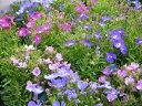 ロベリア苗3株セット 蝶のような可愛らしい小花を次々咲かせる 花苗 販売 通販 種類