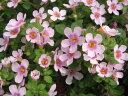 バコパ ピンクリンク苗♪寄せ植えやスタンド鉢等に人気沸騰中の花。大きめの花でピンクの花色、植え替えると大株に育ち無数の花を次々咲かせてくれます。/花芽付き/花苗/販売/通販/種類