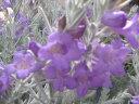 エレモフィラニベア苗♪白い毛に覆われた葉とパープルの花 花苗 販売 通販 種類 半耐寒性常緑低木