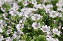 カーペットカスミ草 花苗 カスミソウ かすみ草 寄せ植えの人気者!横に這うように広がり沢山の花を咲かせてくれます 多年草 マット状に広がり株いっぱいに沢山の花が咲く