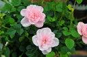ミニバラ ミスピーチ姫4号サイズ 鉢植え 鉢花 バラ 優しい花色♪小さなプチプレゼントにも最適 販売 通販 種類【10P05Apr14M】