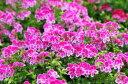 ぺラルゴニューム エンジェルアイズビオラ 5号 鉢植え 鉢花 蝶のような可愛らしいピンクの花 常緑多年草 花期も長い 販売 通販 種類【10P05Apr14M】
