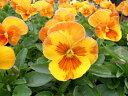 パンジー オレンジスライス 4株セット♪鮮度優先、生産農家、朝取り【花苗】【パンジー】【種類】 10P03Dec16