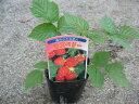 【ポイント10倍】ラズベリー苗 インディアンサマー いちご イチゴ 庭に植えてラズベリーダイエットに挑戦 非常に丈夫な植物でぐんぐん育ち翌年にはたくさんの収穫が期待 花苗 販売 通販 種類