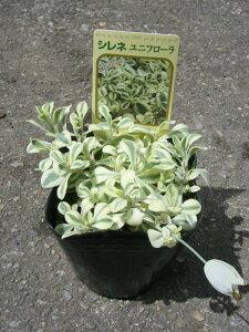 シレネユニフローラ苗♪斑入り葉が綺麗花苗販売通販種類