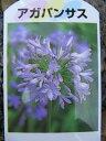 アガパンサス 花苗 紫色の清楚な花を咲かせる植物で毎年素敵な花を楽しませてくれます 販売 通販 種類
