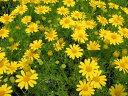 ダークベルクデージー3株セット 花苗 優しげな黄花が風にそよぐ人気の花でドーム状の大株に育ち株いっぱいにたくさんの小花を咲かせてくれます イエロー 販売 通販 種類