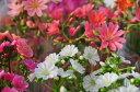 レウイシアいろいろ3.5号/鉢花/テーブルサイズの可愛らしい鉢植えです/スベリヒユ科/耐寒性多年草