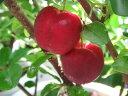 アセロラ 5号サイズ 鉢植え アセロラ とても実付の良い品種のアセロラ