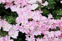 バーベナ キャンディストライプ 3号サイズ 花苗 宿根草 ピンク ホワイト 花芽付き ガーデン ガーデニング 販売 通販 種類
