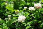 アラビアンジャスミン ジェイド 4号サイズ 鉢植え 鉢花 アラビアンジャスミン 八重咲きジャスミン じゃすみん【楽フェス_ポイント10倍】