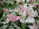初雪カズラ ハツユキカズラ 白ピンクに染まる新芽が美しいリーフ植物 初雪カヅラ ハツユキカズラ苗 ハ
