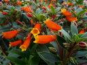 オレンジ色の可愛らしい花♪シーマニアグロー4号【鉢花】/販売/通販/種類