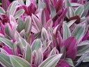 ムラサキオモト オーロラ大苗 花苗 ムラサキの斑入りの葉が綺麗 葉色を生かして寄せ植え等にも人気 パープル 販売 通販 種類