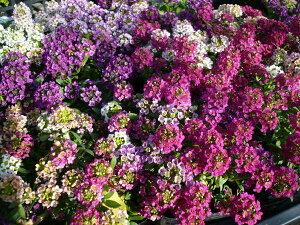 スイートアリッサム 色とりどり アリッサム コンテナ ガーデン
