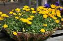 クリサンセマム ムルチコーレ4株セット 花苗 花芽付き 横に這うように広がり次々色鮮やかな花を咲かせてくれます 販売 通販 種類