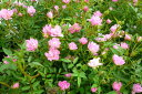 ピンクの小花が咲き乱れるミニバラ♪ミニバラ ほほえみ4号鉢植え【花苗】