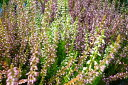カルーナ 3株セット 小花が可愛らしいガーデニングアイテム 花芽付き ツツジ科 販売 通販 種類