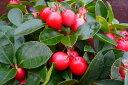 実付チェッカーベリー苗♪赤い実が楽しみ/花苗/常緑低木/販売/通販/種類