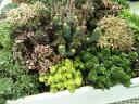 セダム4株セット 育てやすいカラフルリーフ 素敵な寄せ植えに人気 花苗 販売 通販 種類