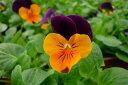 ビオラ オレンジジャンプアップ4株♪鮮度優先、生産農家、朝取り【花苗】【ビオラ】【種類】 10P03Dec16