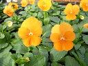 ビオラ ペニーオレンジ4株♪鮮度優先、生産農家、朝取り【花苗】【ビオラ】【大株】【大苗】【種類】