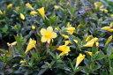 カロライナジャスミン♪花芽付き/耐寒性にも優れつる性でよく成長するのでフェンスやトレリス等に最適です/色鮮やかな黄色の花を咲かせる/花苗