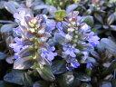 アジュガ チョコレートチップ苗♪斑入り葉がきれいな花苗 寒くなると葉がチョコレートのように黒く染まる人気のアジュガ非常に丈夫な植物で庭を這うように広がるのでグランドカバー