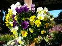 ホントに良く咲くスミレ♪よく咲くスミレ3株セット【花苗】【すみれ】/販売/通販/種類
