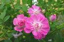 ミニバラ レンゲローズ3.5号鉢植え♪ピンクの花が魅力 四季咲き性で通年楽しめる花です 鉢花 鉢植え 薔薇 販売 通販 種類